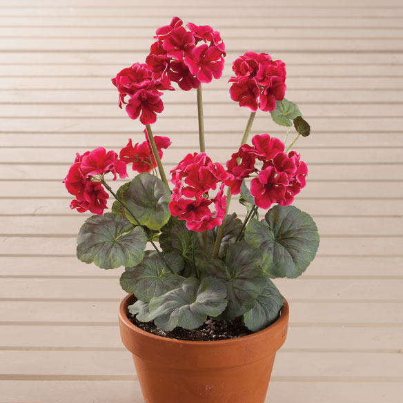 Geranium Bush by OakRidge™