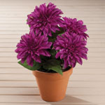 Outdoor Sale - Dahlia Bush