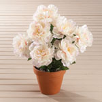 Outdoor Sale - Peony Bush