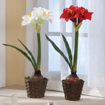 Decorations & Storage - Potted Amaryllis