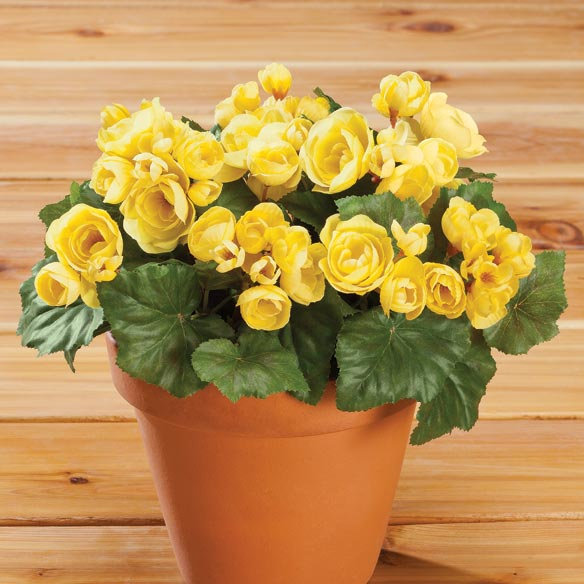 Begonia Bush by OakRidge™ Outdoor - View 2