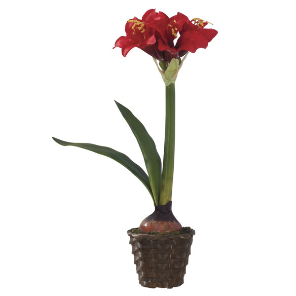 Potted Amaryllis - View 2