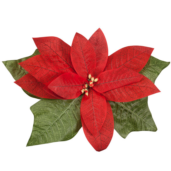 Giant Poinsettia - View 2